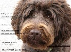 Image result for how to groom a labradoodle face                              …