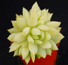 SEDEVERIA' HARRY BUTTERFIELD' ECHEVERIA SUCCULENT | eBay