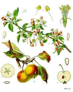 Magickal properties: Apple is a great wood for a magickal wand. It is a favorite witch tree. The fruit is used at Mabon and Samhain, and for love spells. Eating an apple opens the gateway into other realms, most often faeryland. It provides illumination and the gaining of knowledge.  Dreaming of apples symbolizes prosperity and the good life. At Samhain, winning the game of bobbing for apples meant that you would be blessed by the Goddess for a year. Since apples were symbols of Avalon…
