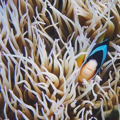 There are many creatures that live together in the coral reef ecosystem but the anemonefish (clownfish) - sea anemone relationship is probably the most well known. The two have a symbiotic mutualistic relationship meaning they each provide a benefit to each other.  The venomous sea anemone protects the clownfish from predators. In return the clownfish eats predators that might be harmful to the anemone and the anemone feeds off the fecal matter of the fish. This Clark's Anemonefish was…