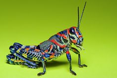 Painted Grasshopper (Dactylotum bicolor) Reminds me of a black light poster. Amphibians, Reptiles, Cool Bugs, Insect Photography, Black Light Posters, A Bug's Life, Beautiful Bugs, Bugs And Insects, Nature Animals