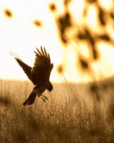 Female Northern Harrier Hawk (by M_Summers) Perfect World, Birds Of Prey, Character Aesthetic, Belle Photo, Beautiful Birds, Beautiful Creatures, Animal Photography, Eagles, Pet Birds