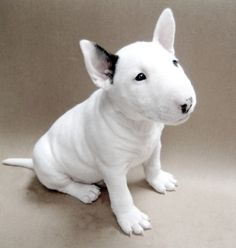 Who wouldn't want a bull terrier like this