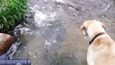He Saw Something In The Stream That He Had To Investigate. What Happened Had Me LOLing! (VIDEO) #dogs #animals #pets