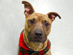 SAFE --- URGENT - Manhattan Center    TIGER - A0990398   MALE, BR BRINDLE / WHITE, AM PIT BULL TER MIX, 1 yr  STRAY - STRAY WAIT, NO HOLD Reason STRAY   Intake condition NONE Intake Date 01/26/2014, From NY 10456, DueOut Date 01/29/201 Main thread: https://www.facebook.com/photo.php?fbid=748625761816972&set=a.617938651552351.1073741868.152876678058553&type=3&theater