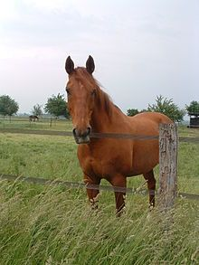 Selle Francais - From Wiki - Sport Horse from France, renowned for show jumping, eventing, intelligent, quick to learn, speed, stamina, lively, powerful, athletic, good gaits, usually bay or chestnut colors