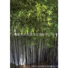 Image result for 蓬莱竹