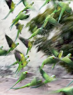 Jammu, India: Parrots take off in the courtyard of a house after eating grain. Photo: Jaipal Singh/EPA