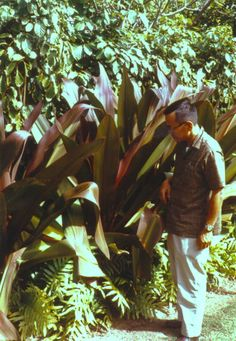 Crinum procerum, Giant Red Crinum Lily Tropical Gardens, Tropical Plants, Garden Bulbs, Garden Plants, Planting, Gardening, Goa, Lilies, Landscaping Ideas