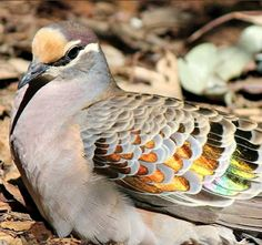Common Bronzewing Pigeon's (Phaps chalcoptera)