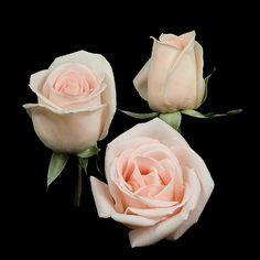 osiana roses - Google Search