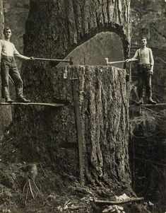 Two Lumberjacks and a BIG tree. Pacific Northwest, USA 1915...photographs of the lumber industry in Portland, Oregon and Challam Bay, Washington, taken by accomplished commercial photographers, Arthur M. Prentiss and W. A. Ellison.