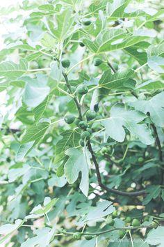 Feigenbäume ziehen und vermehren - so geht´s! Eine Anleitung mit welchen Methoden ihr eure Feigenbäume vermehren und ziehen könnt. Bonsai Tree Care, Planting Flowers, Plant Leaves, Goodies, Green, Plants, Life, Inspiration, Gardening