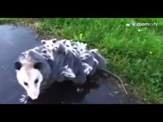 Mãe gambá carrega mais de quinze filhotes nas costas