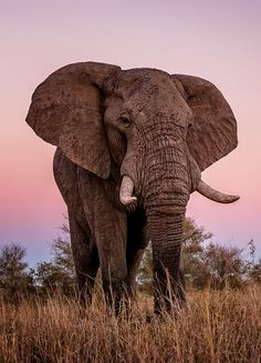 Bull elephant by Walter Zone Elephant Spirit Animal, Bull Elephant, Asian Elephant, Elephant Love, Amazing Animals, Majestic Animals, Animals Beautiful, Beautiful Cats, Beautiful Creatures