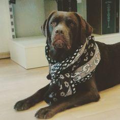 Fotomodell Sally - Unsere Labradorhündin macht den Showroom unsicher und sieht im Uli Schott Schal einfach tierisch gut aus