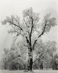 Add fresh elegance to your home with this Ansel Adams framed print. The 'Oak Tree' print features a large and beautiful tree, bathed in fresh white snow. The modern and captivating nature print is mou