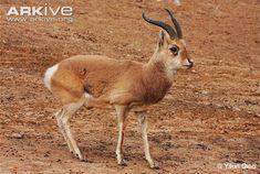 Przewalski's gazelle (Procapra przewalskii)