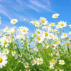 » カモミールの花の草原サニーグリーンスカイ夏 | HDの壁紙 ...