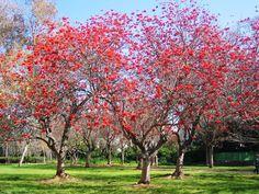 Árvore nativa brasileira... A Mulungu, muito linda!