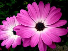 pink-african-daisy-cindy-wright.jpg (900×675)