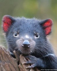 TODAY'S PROJECT: Provide 8 Months of Food to the Endangered Tasmanian Devil 43,200 DAILY CLICKS FUND THIS PROJECT  Only 25,000 Tasmanian Devils in the world remain in existence today! With your help, we can ensure the population does not go extinct entirely. By breeding as many of the surviving, healthy individuals in captivity as possible, we can prevent the extinction of the species. Just $7 provides one month of preventative healthcare for one of these amazing creatures.