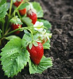 We've been growing strawberries in my family's market garden since The patch provides us with subsistence eating of fresh & frozen berries year round. Fruit Garden, Garden Soil, Edible Garden, Vegetable Garden, Veggie Gardens, Organic Gardening, Gardening Tips, Flower Gardening, Organic Farming