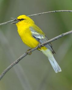 Blue-winged Warbler (Vermivora cyanoptera) is a fairly common New World warbler. It breeds in eastern North America in southern Ontario and the eastern United States.