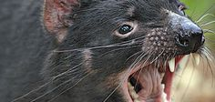 Yes, the Tasmanian devil is a real animal – but will it be around much longer?