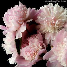 A bundle of Marie Lemonie peonies. A blush bloom, Alaska grown in July/early August and shipped nationwide! Blush Flowers, White Peonies, Ranunculus, Floral Wedding, Bloom, Bridal, Alaska, Florals, Plants