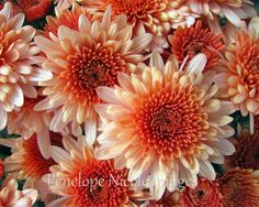 8x10 Print of Peach Colored Flowers by Penelope Nicole Images