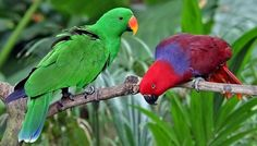 rhamphotheca: Eclectus Parrot (Eclectus roratus) - Male (L) and Female (R) A primarily frugivorous (fruit eating) parrot native to the Solomon Islands, Sumba, New Guinea and nearby islands, northeastern Australia and the Maluku Islands (Moluccas). It is unusual in the parrot family for its extreme sexual dimorphism of the colours of the plumage… (read more: Wikipedia) (photo: Doug Janson)