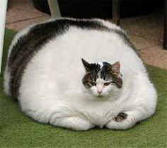 Chonker cats are fat cats and because they are chonky cats then that makes them funny cats. Whenever I see a fat cat I cat laugh because my cat love is super big just like they are. Fat cats make the perfect funny cat photos. Fat Cat Pictures, Funny Cat Photos, Funny Cat Videos, Animal Pictures, Funny Pictures, Cute Funny Animals, Cute Baby Animals, Funny Cats, Cats Humor