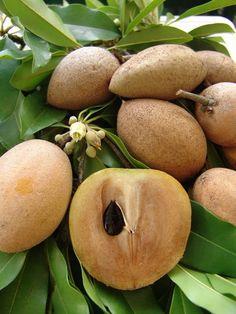 Fruit, graine et fleurs (Buah Sawo)