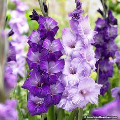 Blue and Purple Gladiolus Bulbs Blue Moon Mix, Gladiolus, Large Flowering Gladiolus