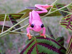 Pink Red Eyed tree frog/this is one of the cutest little jewels , I am wrapped around their little toes.I just LOVE FROGS!!!!!!!
