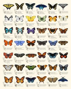 Butterfly Discover Butterflies of North America Photographic Print by Eleanor Lutz This chart is a set of decorative species illustrations of 42 North American butterflies. :) Millions of unique designs by independent artists. Find your thing. Types Of Butterflies, Beautiful Butterflies, Drawings Of Butterflies, Butterfly Drawing, Butterfly Painting, Butterfly Species, Blue Butterfly, Monarch Butterfly Tattoo, Art And Illustration