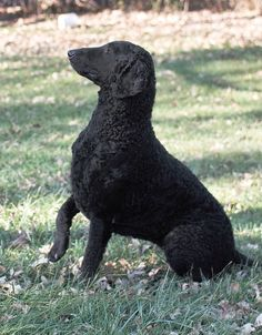Curly Coated Retriever Pup ~ Classic Look Curly Coated Retriever, Braque Du Bourbonnais, Ancient English, English Dogs, Terrier, Different Dogs, Dog Show, Retriever Dog, Hunting