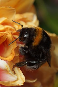 Bumble Bee, Lord V*