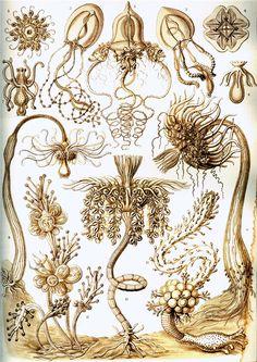 «Красота форм в природе» немецкого биолога и философа Эрнста Геккеля