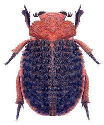 Trogidae Aethiopische Region
