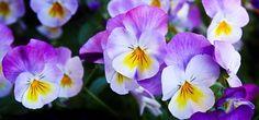 Pansy, Flowers, Purple, Nature, Spring