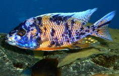 Find information about keeping the OB Peacock Cichlid or Aulonocara SP. (Hybrid) in a home aquarium, including advice for feeding and breeding your OB Peacock Cichlid. Glass Aquarium, Home Aquarium, Malawi Cichlids, African Cichlids, Amphibians, Reptiles, Underwater Life, Beautiful Ocean, Aquariums