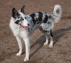 blue merle short haired collie
