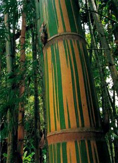 Guadua Bamboo...  good for structures