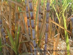 Sugarcane/