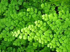 A Avenca de nome científico Adiantum é um genero de aproximadamente 200 espécies de fetos da família Pteridaceae, embora alguns investigador...