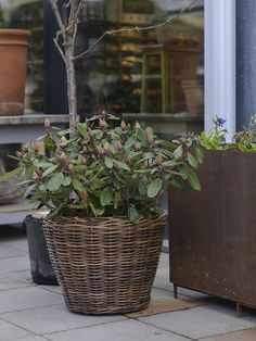 Lovely combination of planters - basket and iron container