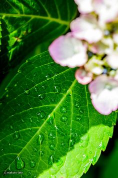 The drop on the leaf of a hydrangea