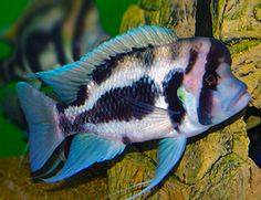 Freshwater Fish - Find incredible deals on Freshwater Fish and Freshwater Fish accessories. Let us show you how to save money on Freshwater Fish NOW! Cichlid Aquarium, Aquarium Fish, Cichlid Fish, Fish Aquariums, Aquarium Ideas, Tropical Freshwater Fish, Freshwater Aquarium, Tropical Aquarium, Tropical Fish